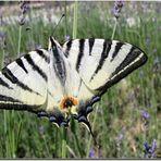 Farfalla zebra - Podalirio