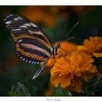 farfalla2