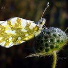 farfalla...congelata