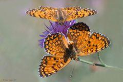 Farfalle #46 (Mesoacidalia aglaja) - Corteggiamento