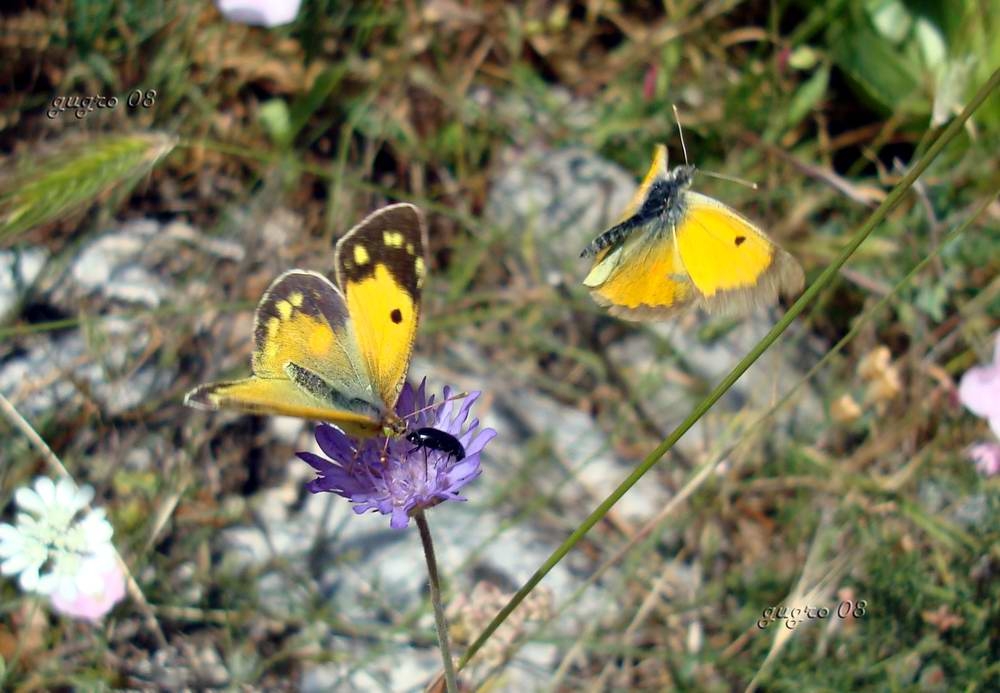 farfalle gialle
