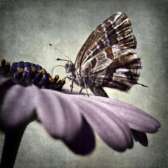 Farfallina