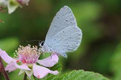 Farfallina turchina.