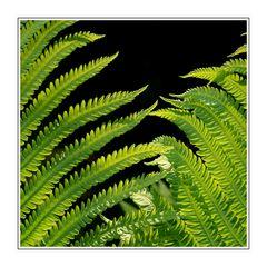 Farn Blätter