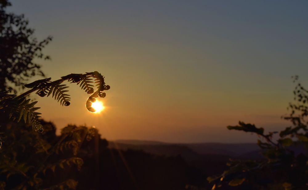 Farn im Sonnenuntergang