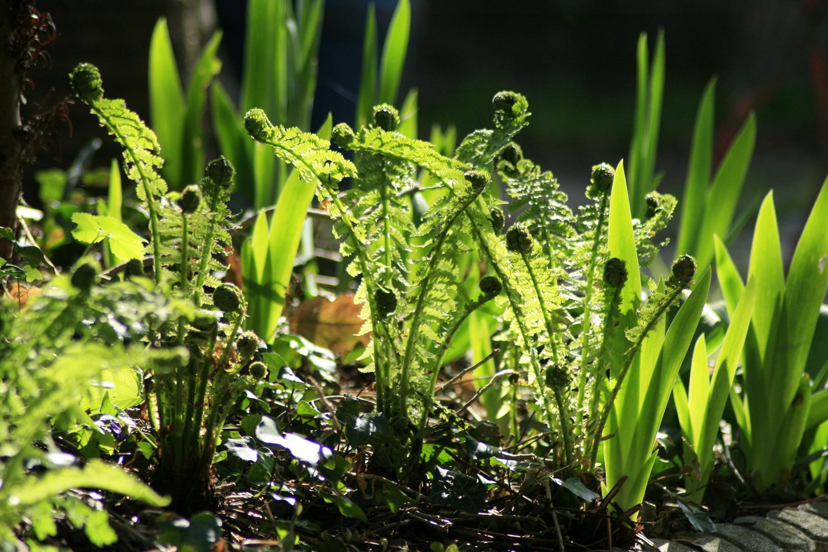 Farn In Unsern Garten Foto Bild Pflanzen Pilze Flechten