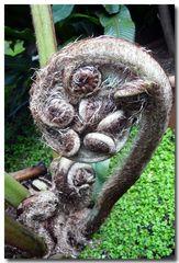 Farn - Wunder der Natur - ein Baumfarn -