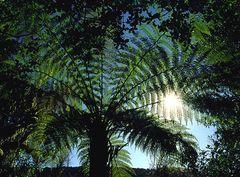Farnbaum im Sonnenlicht II