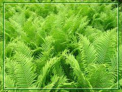 Farnenmeer in grün