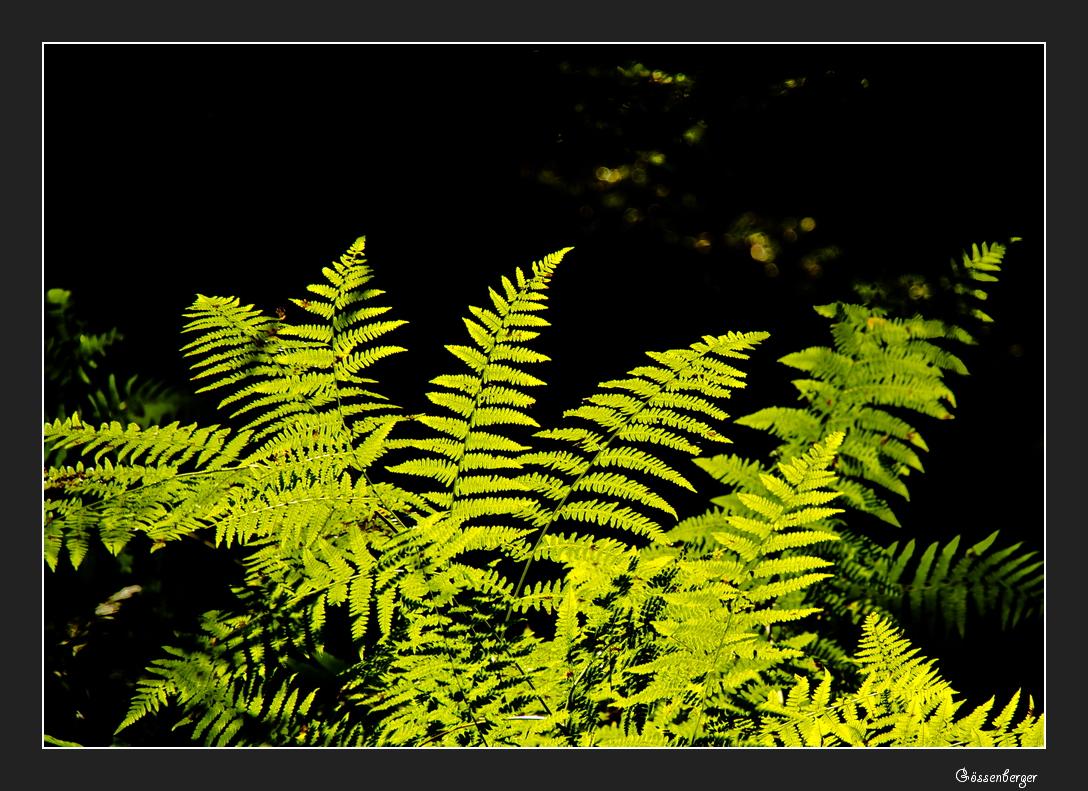 Farnkraut im Wald
