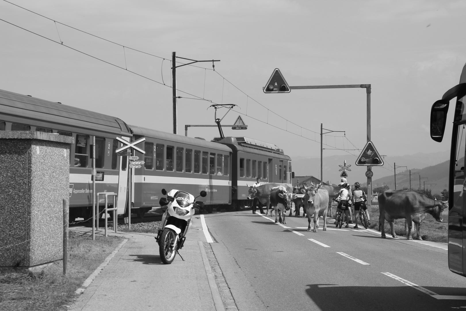 Fast hätte der Zug den Almabtrieb beendet