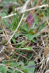 Fast schon ein Suchbild: Der Warzenbeißer (Dectictus verrucivorus)