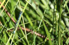Fast übersehen, die kleine Libelle