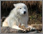 (Fast) weißer Wolf