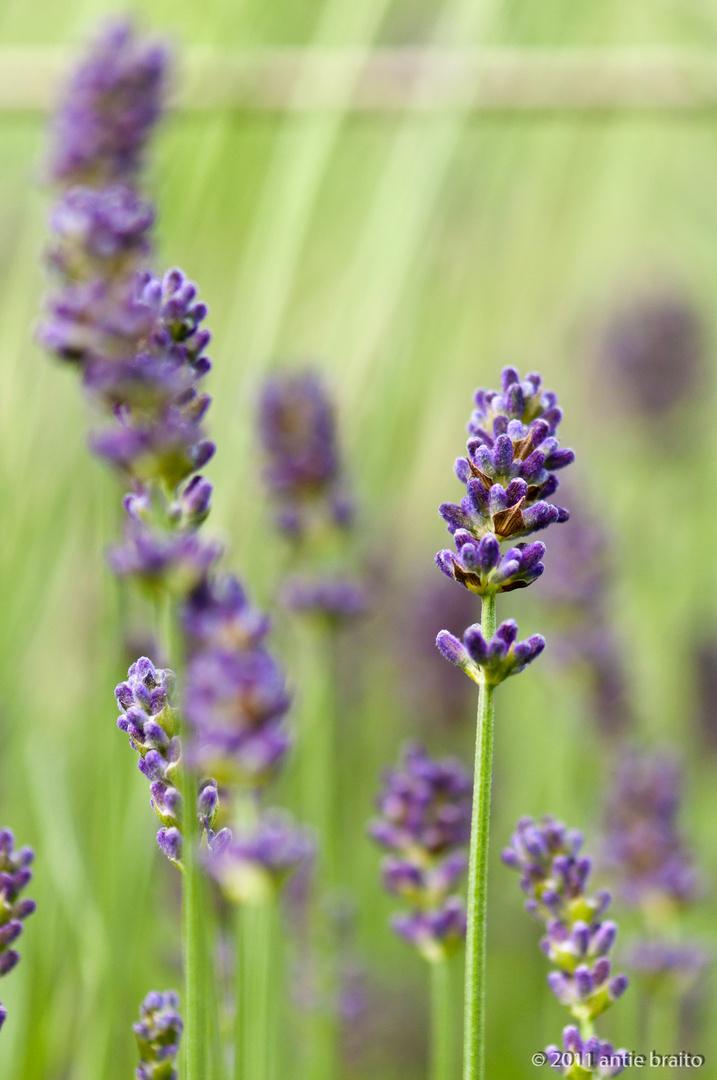 fast wie gemalen - schade dass man nicht den Duft des Lavendels riechen kann..