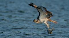 Faszination Fischadler, wildlife