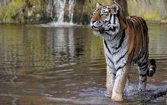Faszination Tiger