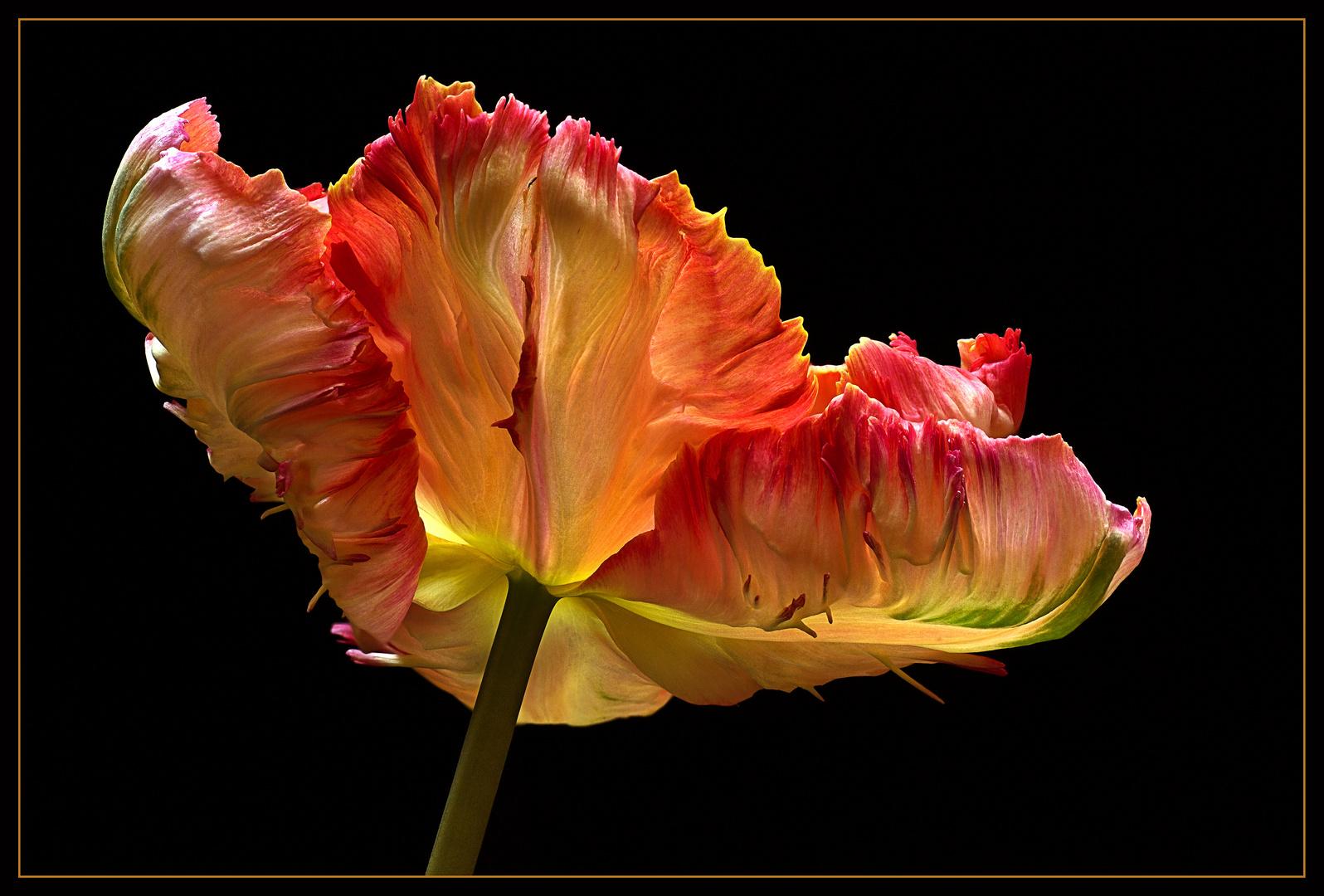Faszination Tulpen - Foto 3 einer Trilogie