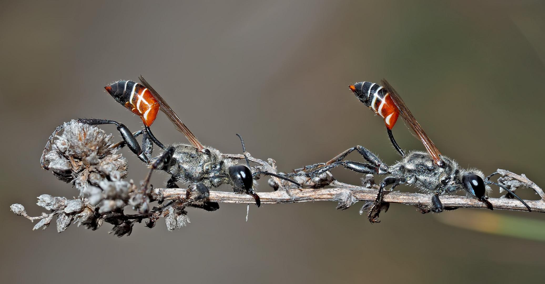 Faszinierend: Prionyx kirbii, eine seltene Grabwespe! *  - Une découverte étonnante et fascinante!