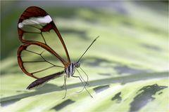 faszinierender Schmetterling