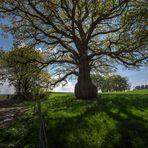 Fat old Tree (2)