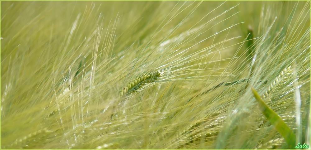 Fauchée comm les blés...