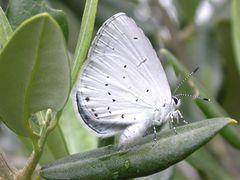 Faulbaum-Bläuling [Celastrina argiolus]