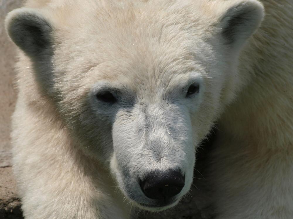 Fauler Eisbär im Wiener Wildpark II