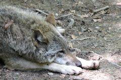 Fauler Wolf