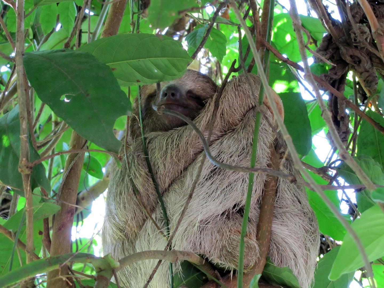 Faultier in Costa Rica Foto & Bild   tiere, wildlife ...