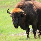 ...faut pas énerver le bison!