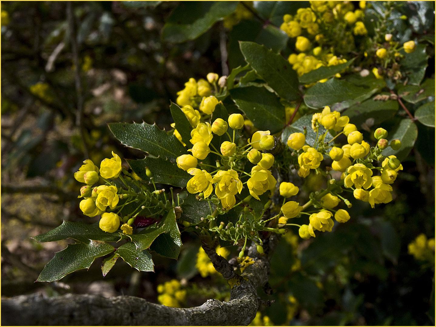 faux houx mahonia aquifolium gew hnliche mahonie photo et image divers la nature. Black Bedroom Furniture Sets. Home Design Ideas