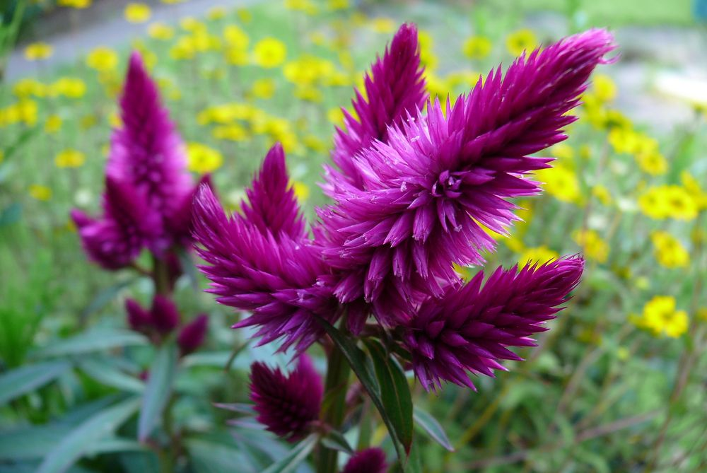 Federbusch (Celosia argentea)