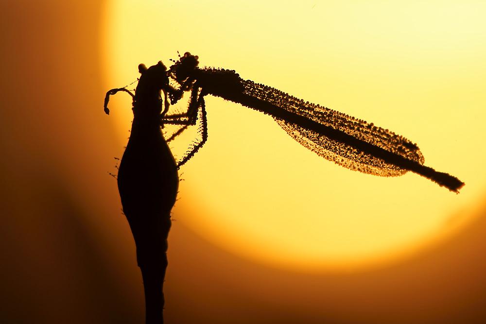 Federlibelle im Sonnenaufgang
