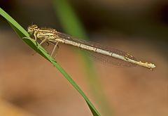 Federlibelle, Weibchen