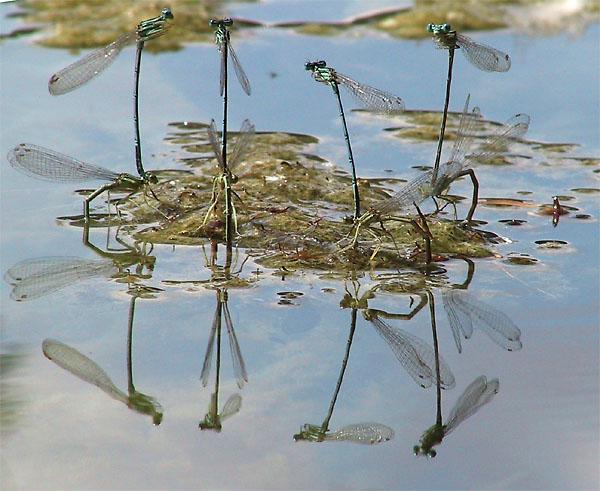 Federlibellen bei der Eiablage