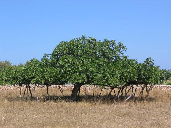 Feigenbaum auf Formentera