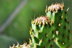 Feigenkaktus - Opuntia ficus-indica