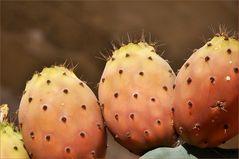 Feigenkaktus-Opuntia ficus-indica ll