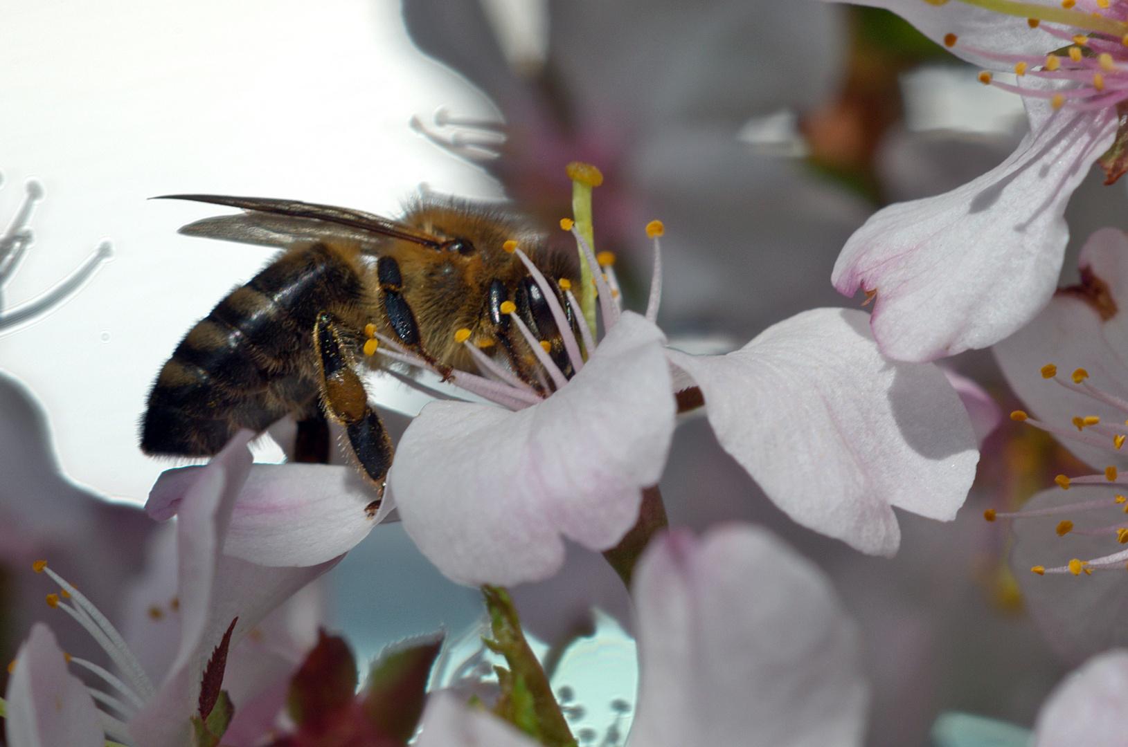 Fein, die ersten Mandelblüten