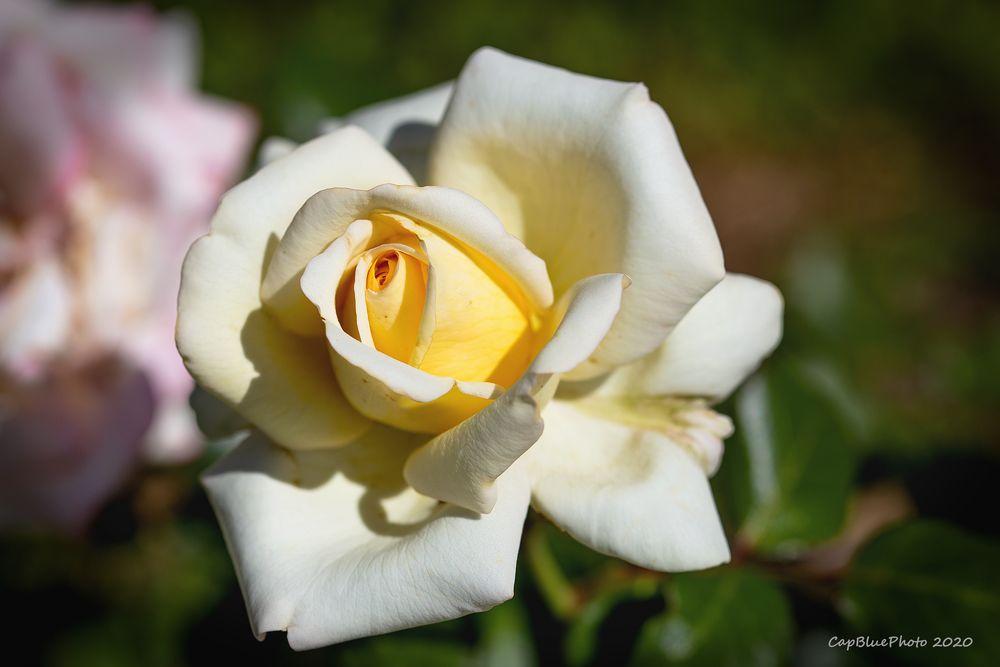 Feine weiße Rose