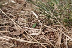 Feld-Sandlaufkäfer (Cicindela campestris)