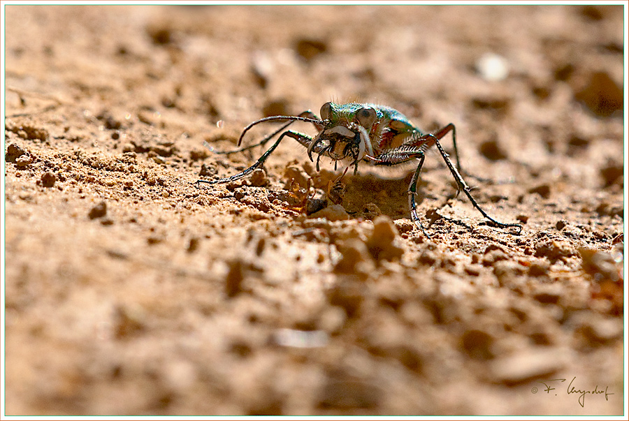Feld-Sandlaufkaefer---Cicindela-campestris
