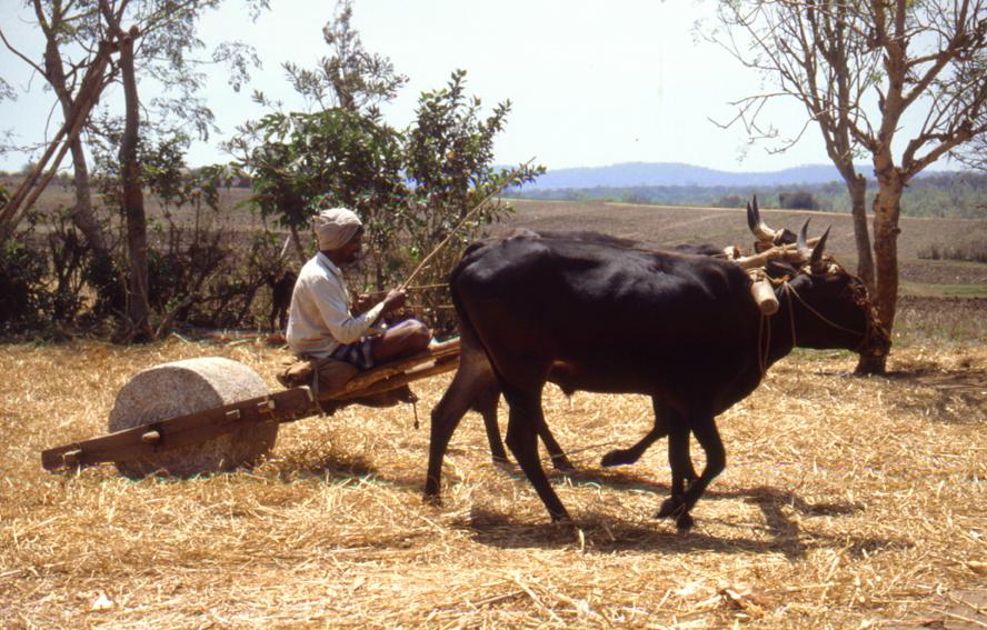 Feldarbeit in Südindien/ dreschen von Getreide