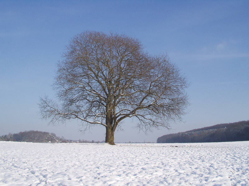 Feldbaum im Winter