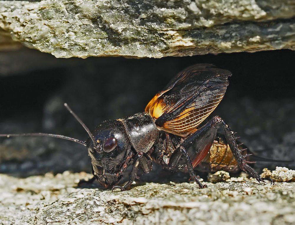 Feldgrille (Gryllus campestris), Zirpendes Männchen. - Grillon champêtre.
