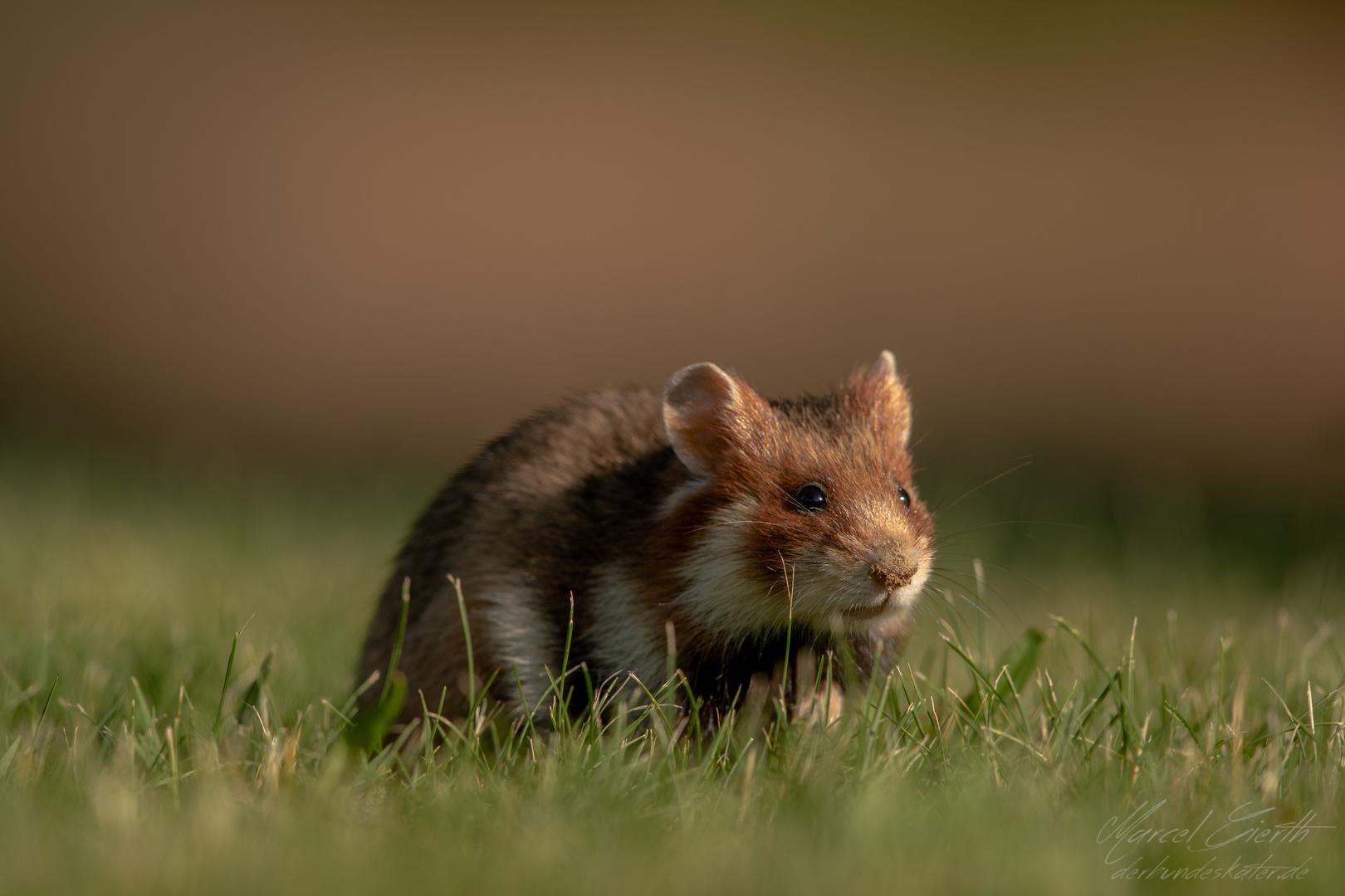 Feldhamster - Cricetus cricetus - Common hamster