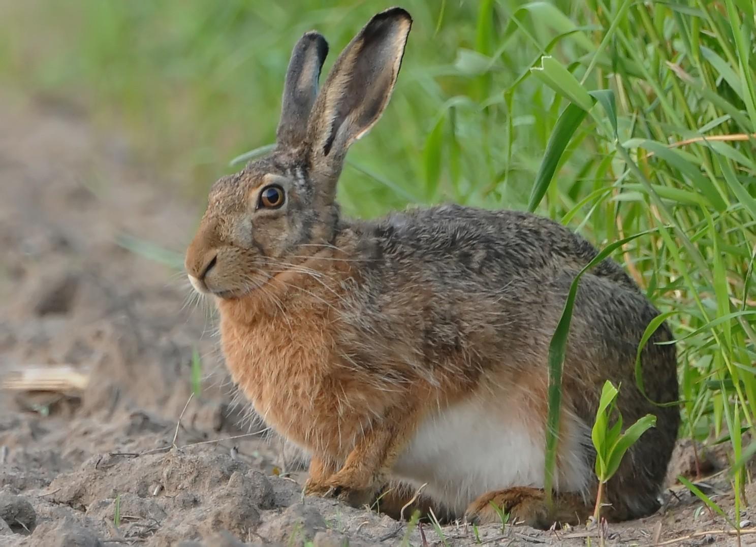 Feldhase bleibt cool Foto & Bild   tiere, wildlife
