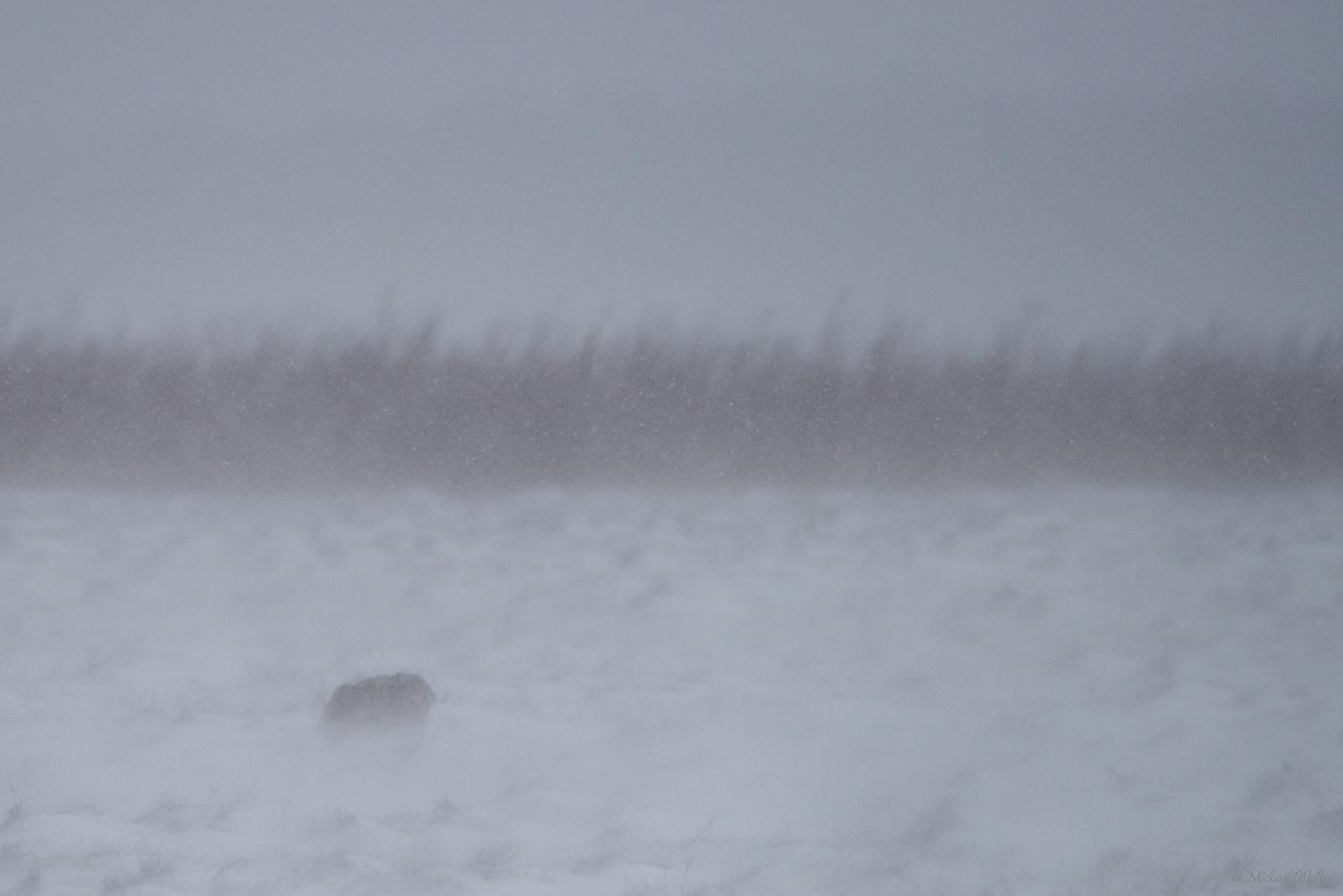 Feldhase im Schneetreiben