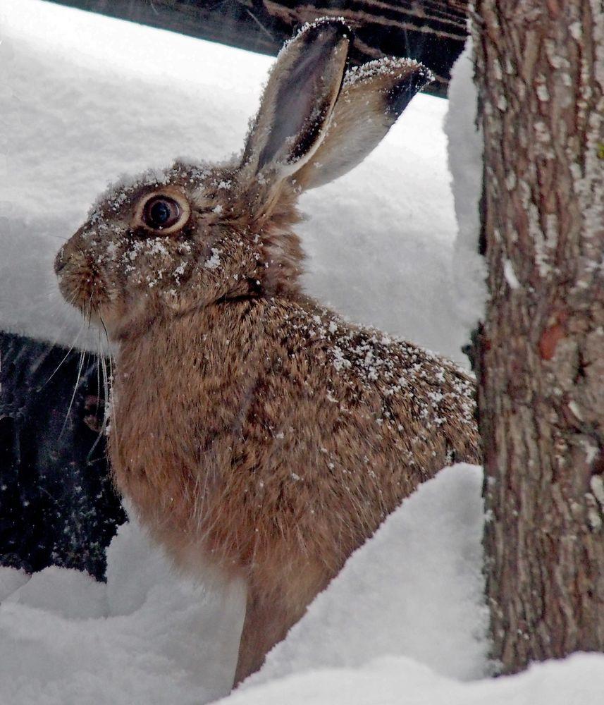 Feldhase (Lepus europaeus) im tiefen Schnee!